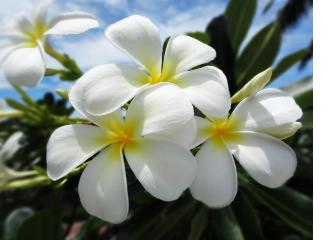 プルメリア|ハワイアンジュエリー